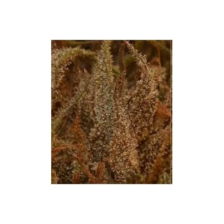 Queen Mothe Regular de Original Delicatessen Seeds