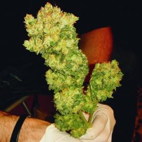 Medical Seeds Sour Diesel - 5u