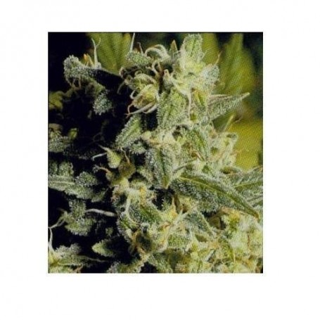 Double Dutch de Serious Seeds