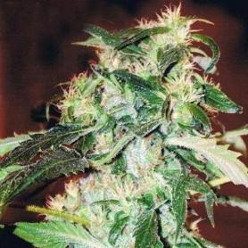 5 Semillas Jack 47 Feminizadas Sweet Seeds