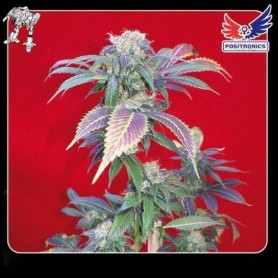 3 semillas Purple Haze 1 de Positronics