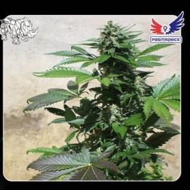 3 semillas Blue Rhino de Positronics