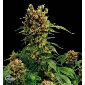 Semilla California Hash Plant de Dinafem