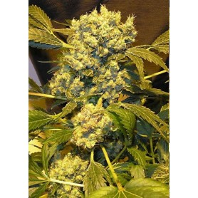 Chronic de Serious Seeds