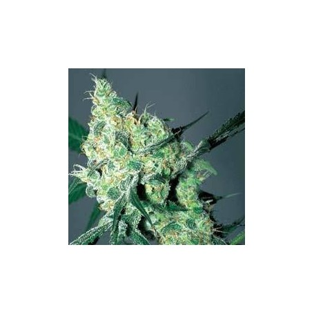White Russian de Serious Seeds