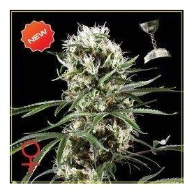 5 Semillas Super Lemon Haze Feminizadas de Green House