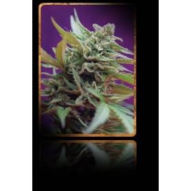 3+1 Semillas Black Jack Autofloración de Sweet Seeds