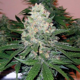 Rocklock (Warlock)  de Dna Genetics