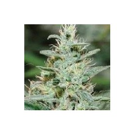 Red Dragon de Barney's Farm