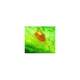 Bote de 10.000 unidades de Phytoseiulus Persimilis Phytoseiulus