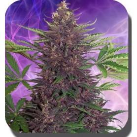 Purple Kush Autofloración de Buddha Seeds