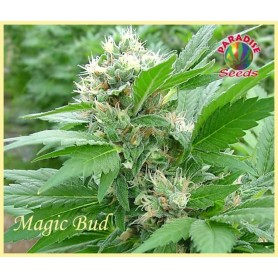 Magic Bud 3u Fem - Paradise