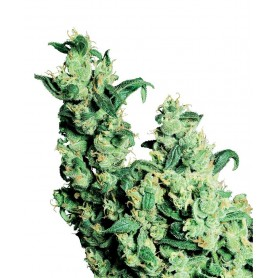 10 Semillas Jack Herer Regulares de Sensi Seeds