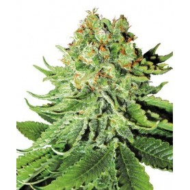 Northen Lights Autofloreciente de Sensi Seeds 5u