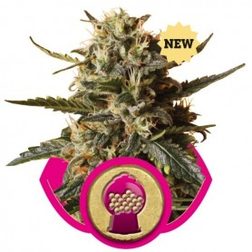 Semillas Bubblegum XL de Royal Queen
