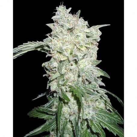 Afgan Kush 10 Reg. - World Of Seeds