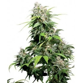 10 Semillas California Indica Regulares de Sensi Seeds
