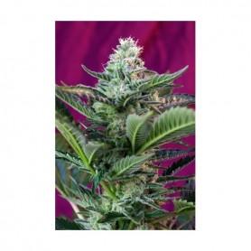 5+2 Semillas Mohan Ram Autoflorecientes de Sweet Seeds
