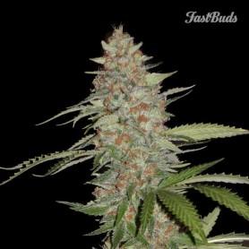 Fast Buds - G14 Auto 1u