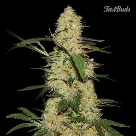 Fast Buds - Grapefruit'matic 1u