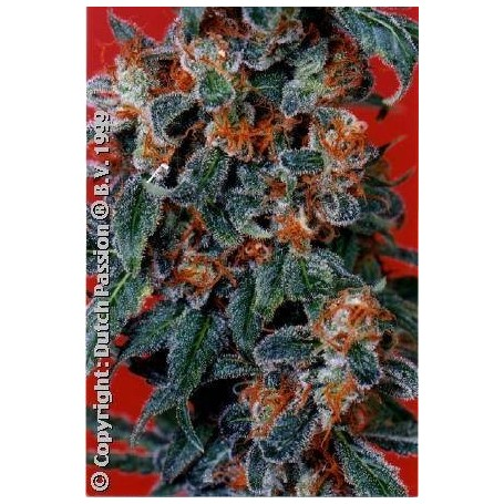 10 semillas de Californian Orange de Dutch Passion