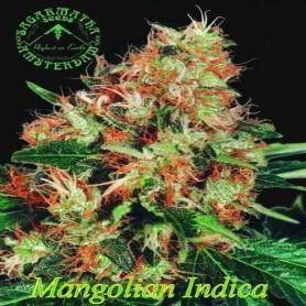 Sagarmatha 10 Reg Magnolian Indica