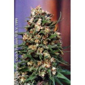 10 Semillas Skunk N-1 Regulares de Dutch Passion