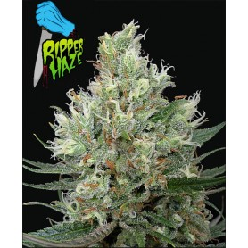 Ripper Haze de Ripper Seeds
