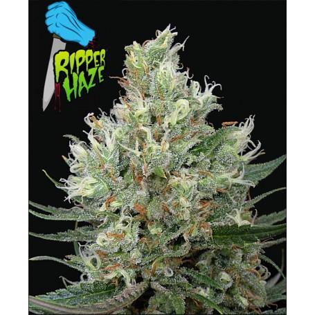 Ripper Haze de Ripper Seeds