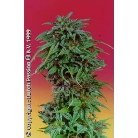 10 Semillas Durban Poison Regulares de Dutch Passion