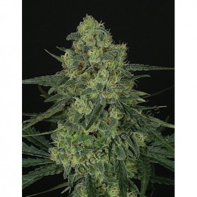 Criminal + de Ripper Seeds