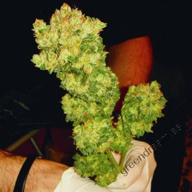 Sour Diesel de Medical Seeds
