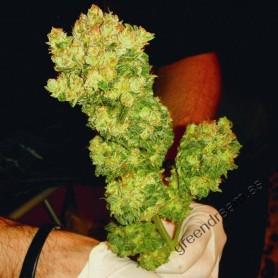 Sour Diesel de Medical Seeds