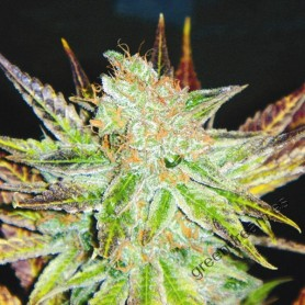 Prozack de Medical Seeds