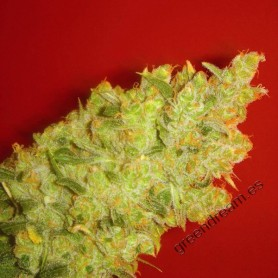 Jack la Mota de Medical Seeds