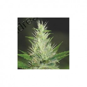 Malakoff de Medical Seeds