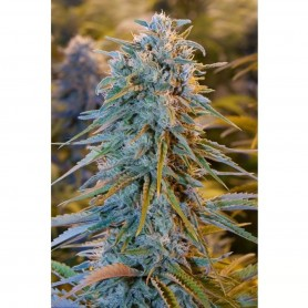 Blue Dream de Humboldt Seed Organization