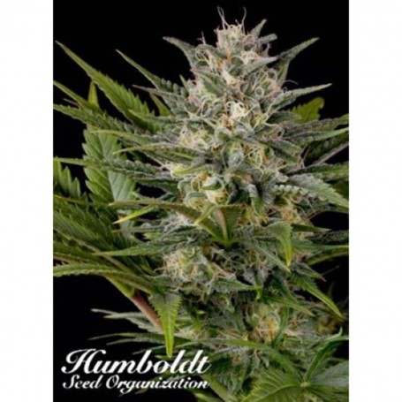 Pineapple Skunk de Humboldt Seed Organization