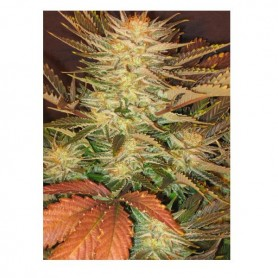 Ice Cream de Paradise Seeds