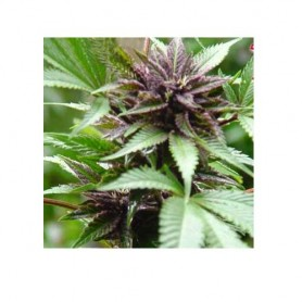 Sweet Purple de Paradise Seeds