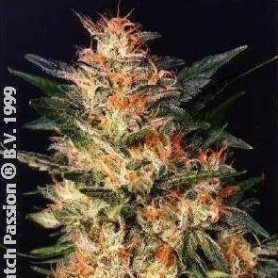 10 Semillas White Widow Regulares de Dutch Passion