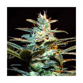 Ice Cool de Sweet Seeds