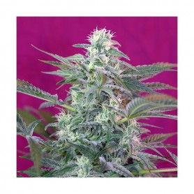 Big Foot de Sweet Seeds