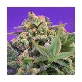 Sweet Cheese Fast Version de Sweet Seeds