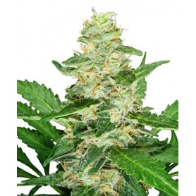 Super Skunk Autofloreciente de Sensi Seeds