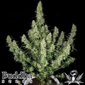 Magnum Autofloración de Budha Seeds
