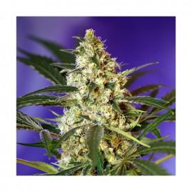 Fast Bud Autofloración de Sweet Seeds