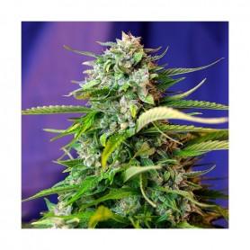 Jack 47 Autofloración de Sweet Seeds