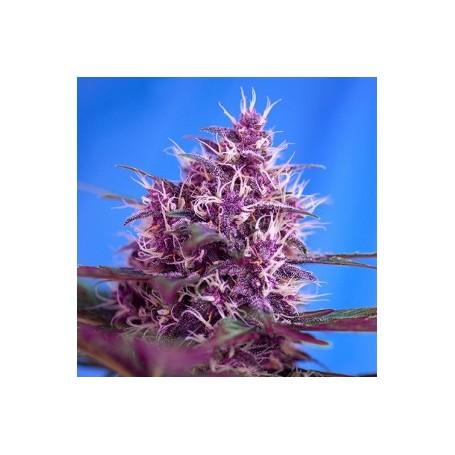 Red Poison Autofloración de Sweet Seeds