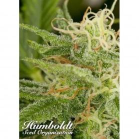 10 Semillas Regulares OG Kush de Humboldt Seed Organization